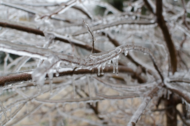 The branches are covered with ice